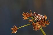 Painted Reed Frog - Okavango Delta - Botswana