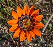 Gazania rigida wildflower