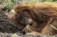 Young Sumatran Orangutan Lying Down