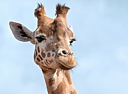 Kordefan Giraffe headshot, close up