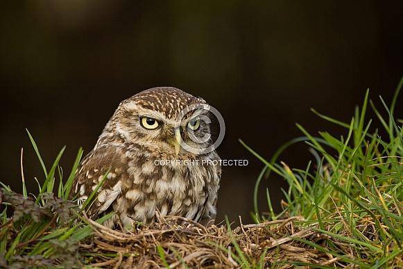 Little Owl Perching