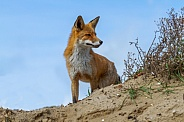 Red Fox in the dunes