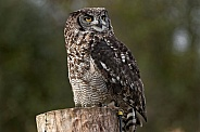 African Spotted Eagle Owl On Stump