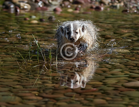 Baby Badgers Crossing a Pond