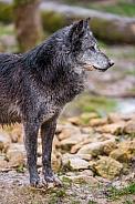 Grey Wolf in Dark Phase