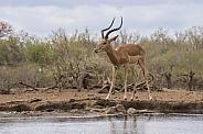 Impala (Male)