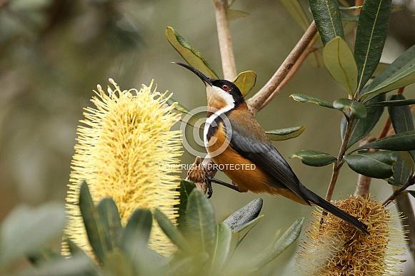 Eastern Spinebill (wild)