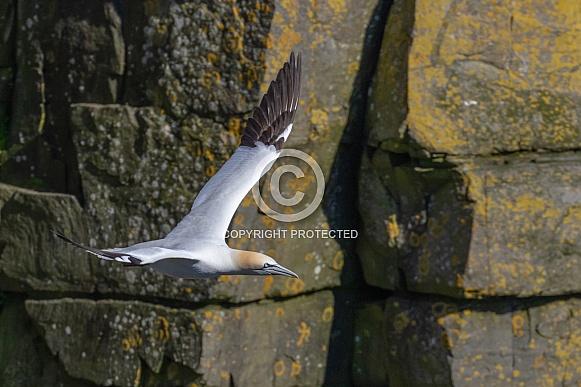 A Gannet in flight around the rocky cliffs