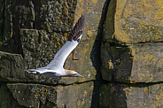 A Gannet in flight around the rocky cliffs