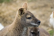 Wallabies / Wallaby