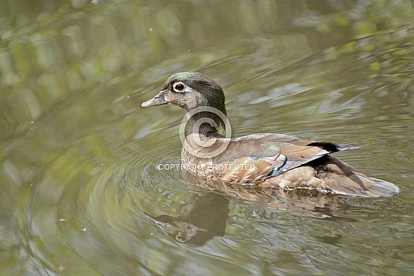 North American Wood Duck - Hen