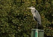 Grey Heron Perching