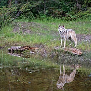 Tundra Wolf Reflection