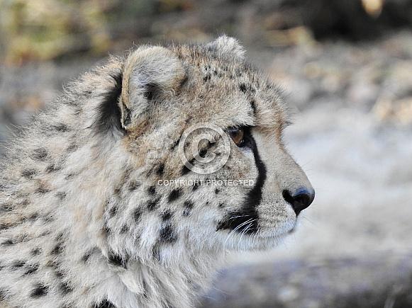 Cheetah juvenile