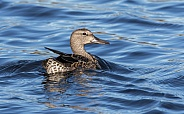 Female American Wigeon Duck Swimming