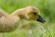 Goose Chick