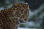 Sri Lanka Panther