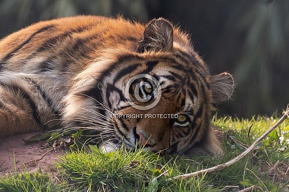 Sumatran Tiger Lying Down Close Up