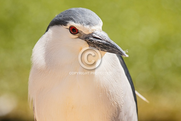 black crowned night heron close up