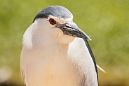 black crowned night heron close up