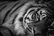 Sumatran Tiger Black and White