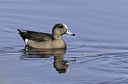 American Wigeon Male Duck Swimming in Alaska