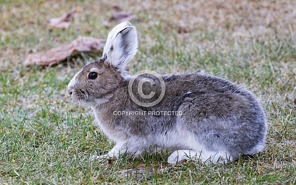 Snowshoe Hare in Alaska