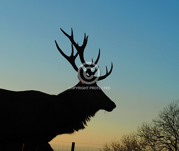 Stag Sunset