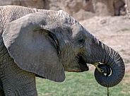 Elephant Calf - 4 Years Old