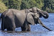 African Elephants drinking at the Chobe River - Botswana