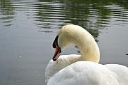Female Swan