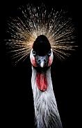 African Crowned Crane Portrait Close Up