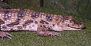 Dwarf Caiman Aligator