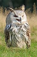 Eurasian eagle-owl (Bubo Bubo Sibiricus)