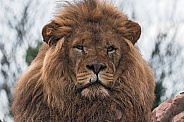 African Lion Male Face Shot