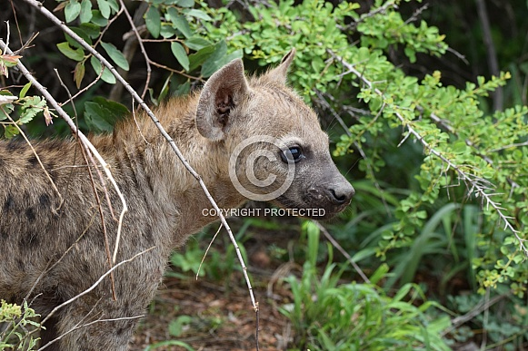 Hyena puppy