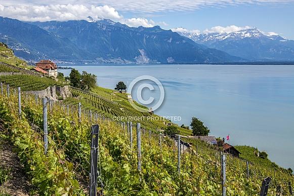 Vineyard - Lake Geneva - Switzerland