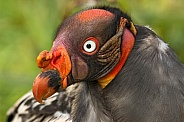 King Vulture Close Up