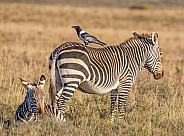Cape Mountain Zebra mother and foal
