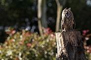 Long Eared Owl In Naturalistic Surroundings