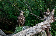 Juvenile bald eagle on a rock by a dead tree