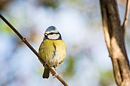 Blue Tit on Branch