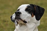 Porcelaine/ Bernese Mountain Dog Hybrid