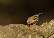 Goldcrest (male)