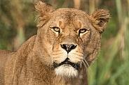 Lioness Face Shot