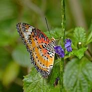 Butterfly - Leopard Lacewing