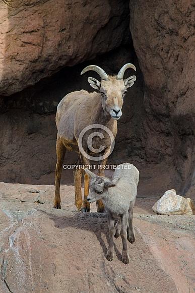 Bighorn Sheep - Lamb and Ewe