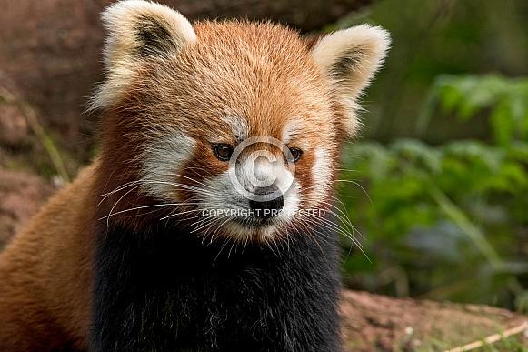 Red Panda Sitting Up Close Up Alert