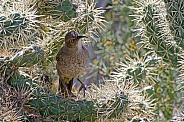Curve-billed Thrasher in Cholla Cactus