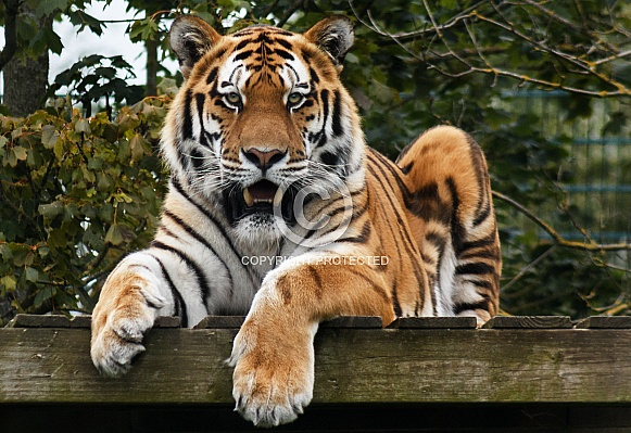 Amur tiger looking forward